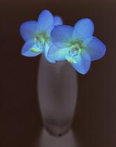 森雅美さんの「Phalaenopsis」