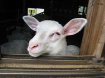 羊も、ストレスゼロ?