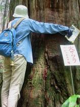 樹齢550年の天然サワラは圧巻