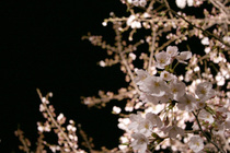 王子動物園「夜桜通り抜け」。ここは桜の国だとしみじみ