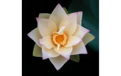 「清い花」