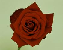 「いくたびも薔薇の真紅にゆく視線花を疲らせゐるにあらずや」