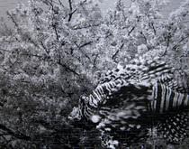 「ミノカサゴと桜」