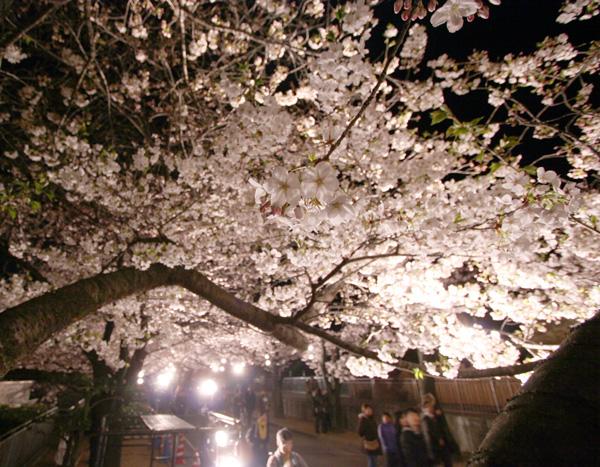 神戸市立王子動物園「夜桜通り抜け」