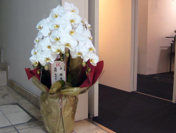 展覧会「雅花」のお祝い胡蝶蘭